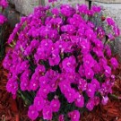 Dianthus - Shooting Star