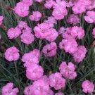 Dianthus - Tiny Rubies