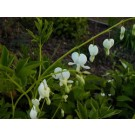 Spectabilis Alba Bleeding Heart