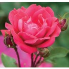 Rose - Red Double Knock Out® - Shrub