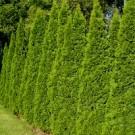 Arborvitae - Green Giant