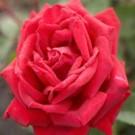 Easy Elegance Como Park Rose