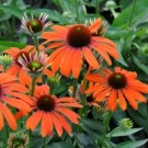 Coneflower - Julia