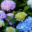 Endless Summer The Original Hydrangea