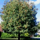 European Mountain-ash