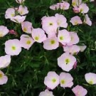 Evening Primrose - Siskiyou
