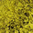 Forsythia - New Hampshire Gold