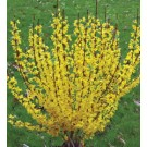 Forsythia - Show Off