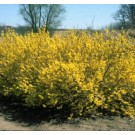 Forsythia - Sunrise