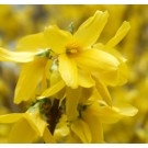 Forsythia - Weeping
