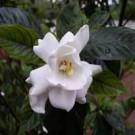 Dwarf Gardenia Radicans Flower