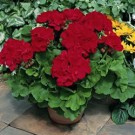 Geranium - Calliope™ Dark Red