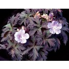 Geranium - Midnight Reiter