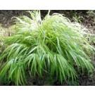Golden Variegated Hakone Grass