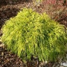 False Cypress - Golden Mop