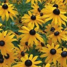 Black Eyed Susan - Little Goldstar