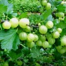 Gooseberry - Pixwell