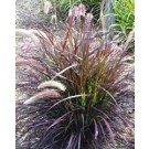 Grass - Graceful Grasses® - Purple Fountain