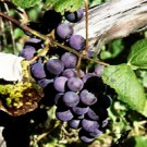 Grape - Reliance Seedless