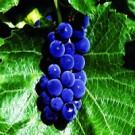 Grape - St. Croix™