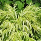 Grass - Golden Variegated Hakone