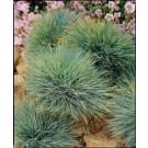 Grass - Elijah Blue Fescue