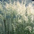 Grass - Graziella Maiden