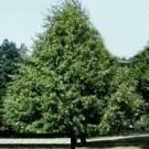 Greenspire Linden Trees