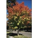 Green Mountain Sugar Maple (PP2339)