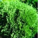 Arborvitae - Hetz Midget