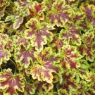 Heucherella - Solar Eclipse