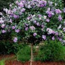 Rose of Sharon - Lavender Chiffon Tree Form