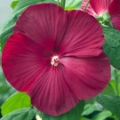 Hibiscus - Luna Red