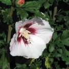 Rose of Sharon - Blush Satin