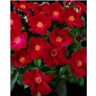 Rose - Home Run® - Shrub