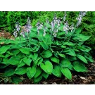 Hosta - Blue Angel