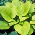 Hosta - Key West