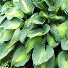 Hosta - Lakeside Shore Master