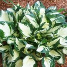 Hosta - Loyalist