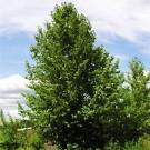 Hybrid Poplar