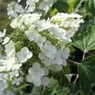 Hydrangea - Oakleaf