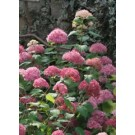 Hydrangea - Endless Summer® - Bella Anna™