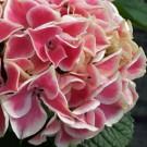 Hydrangea - Edgy™ Hearts