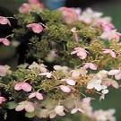 Late Panicle Hydrangea