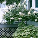 Hydrangea - Late Panicle - Tree Form