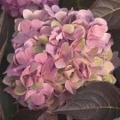 Hydrangea - Let's Dance Moonlight™