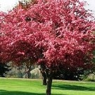 Crabapple - Indian Magic