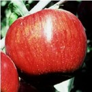 Apple Tree - Red Jonathan