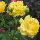 Rose - Julia Child - Floribunda