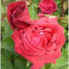 Kashmir Easy Elegance Rose